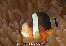 clownfish at siladen ,bunaken park,nikon d2x60mm macro by Puddu Massimo 